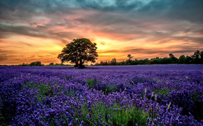 field-of-lavender-2